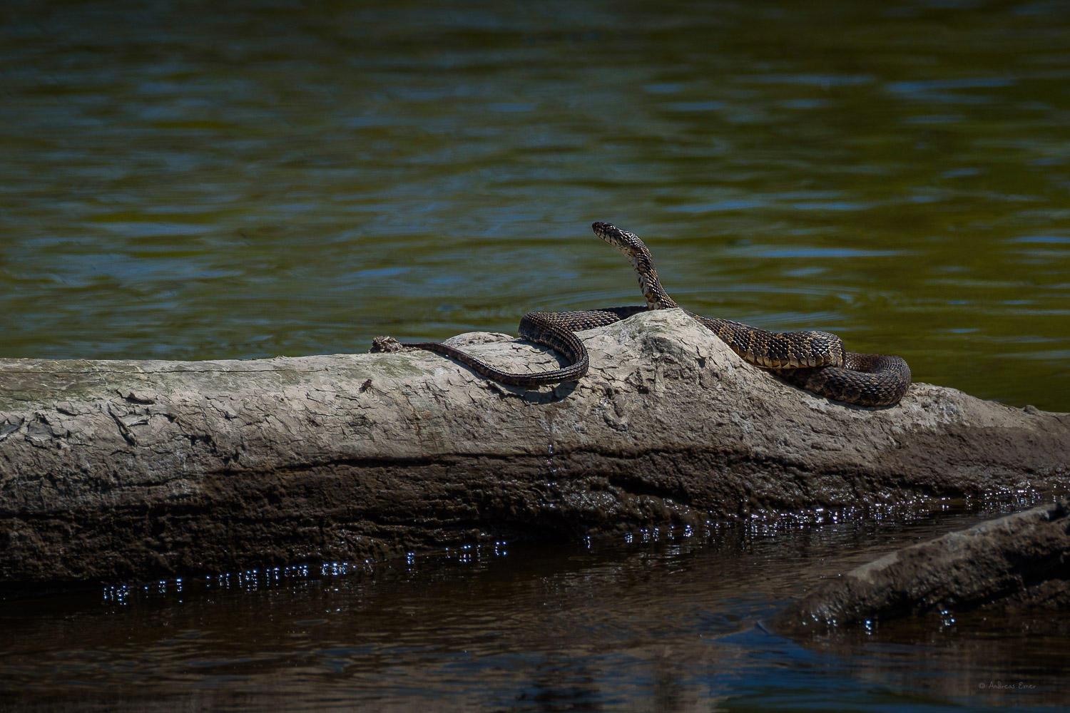 Northern Water Snake, Mississippi River, Deere Dyke, Dubuque, Iowa ---------