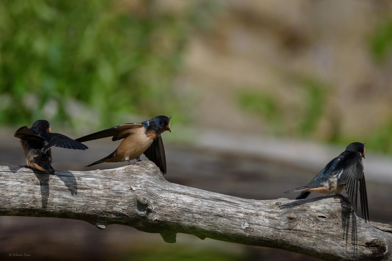 Juvenile Barn Swallows, Mississippi River, Mud Lake, Iowa ------
