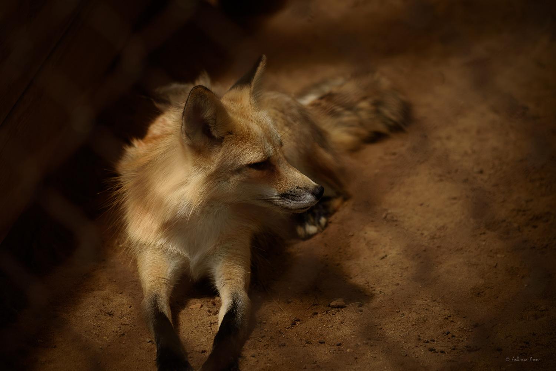 Red Fox (captive) --------
