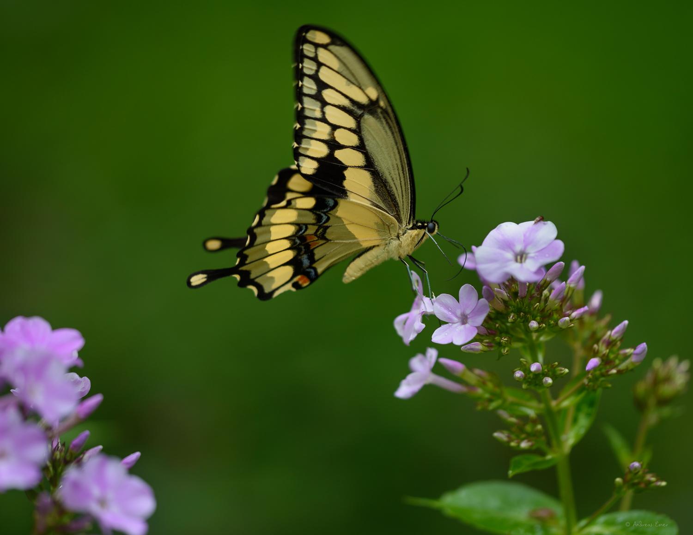 Giant Swallowtail -------