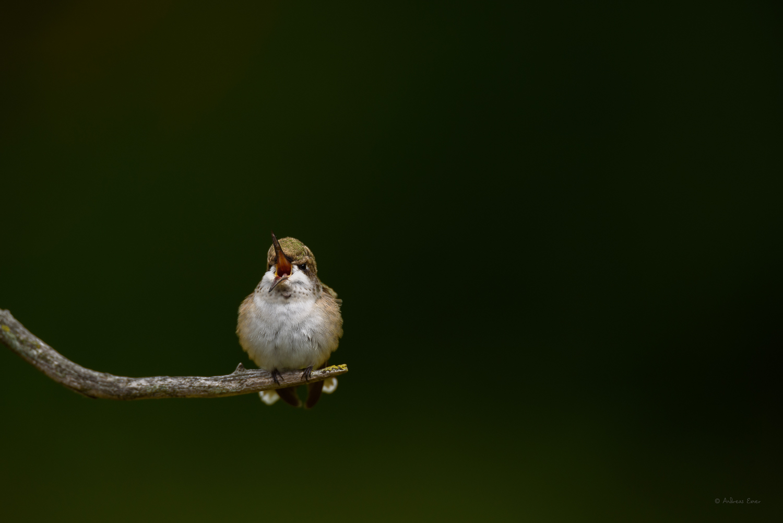 Ruby-throated Hummingbird -------
