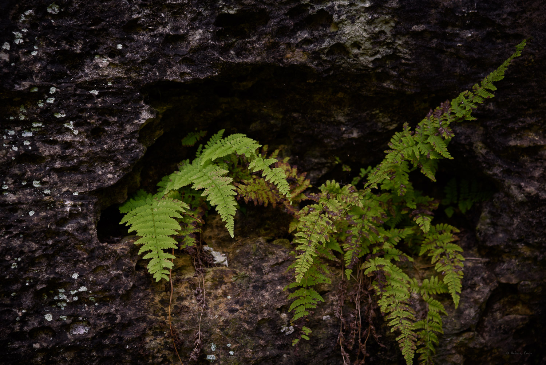 Fern, Brush Creek Canyon State Preserve, Iowa