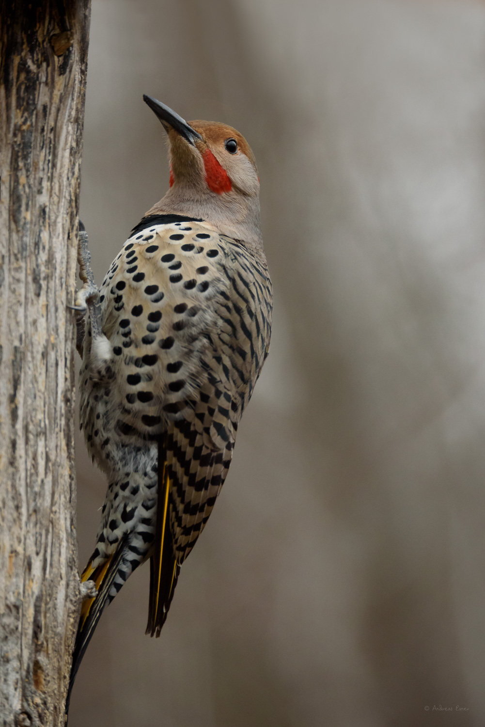 Intergrade between Red-shafted and Yellow-shafted Northern Flicker