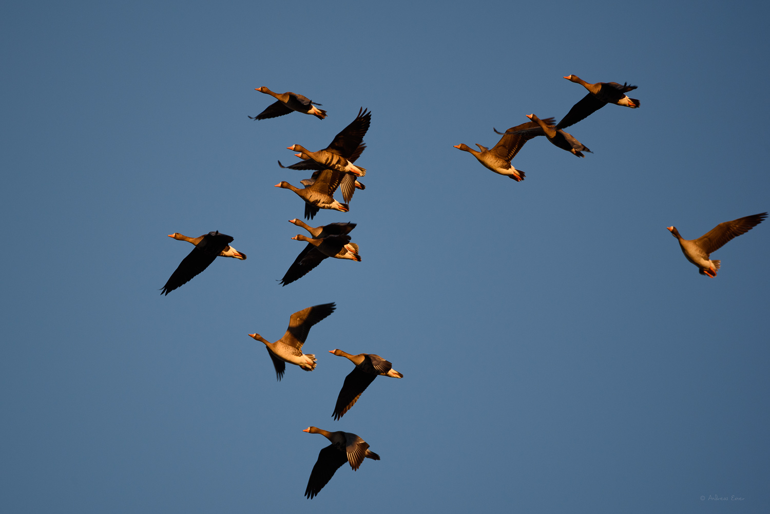Greater White-fronted Geese in search for a resting place during their migration to the arctic. -----------