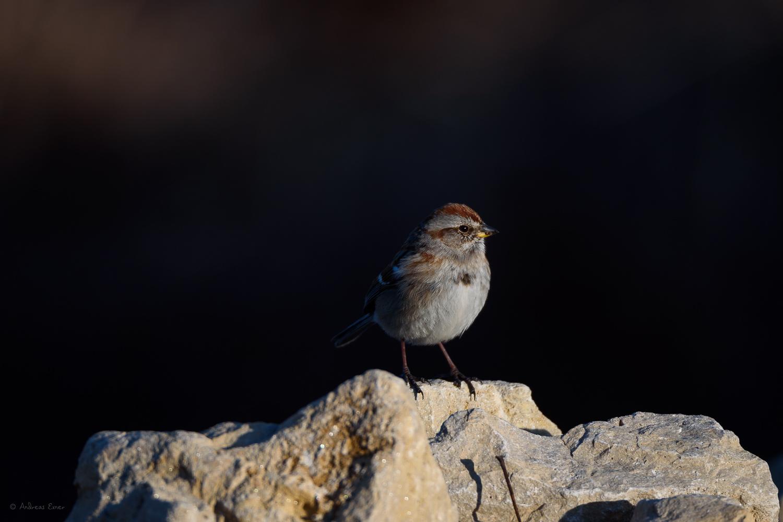 American Tree Sparrow, Mississippi River, Hawkeye Marina, Mud Lake, Iowa ---------