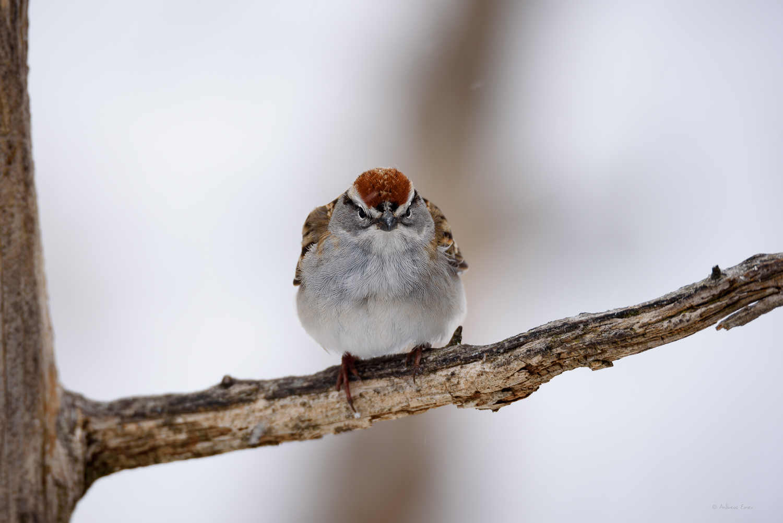 Chipping Sparrow, Little Maquoketa River, near Durango, Iowa ------------