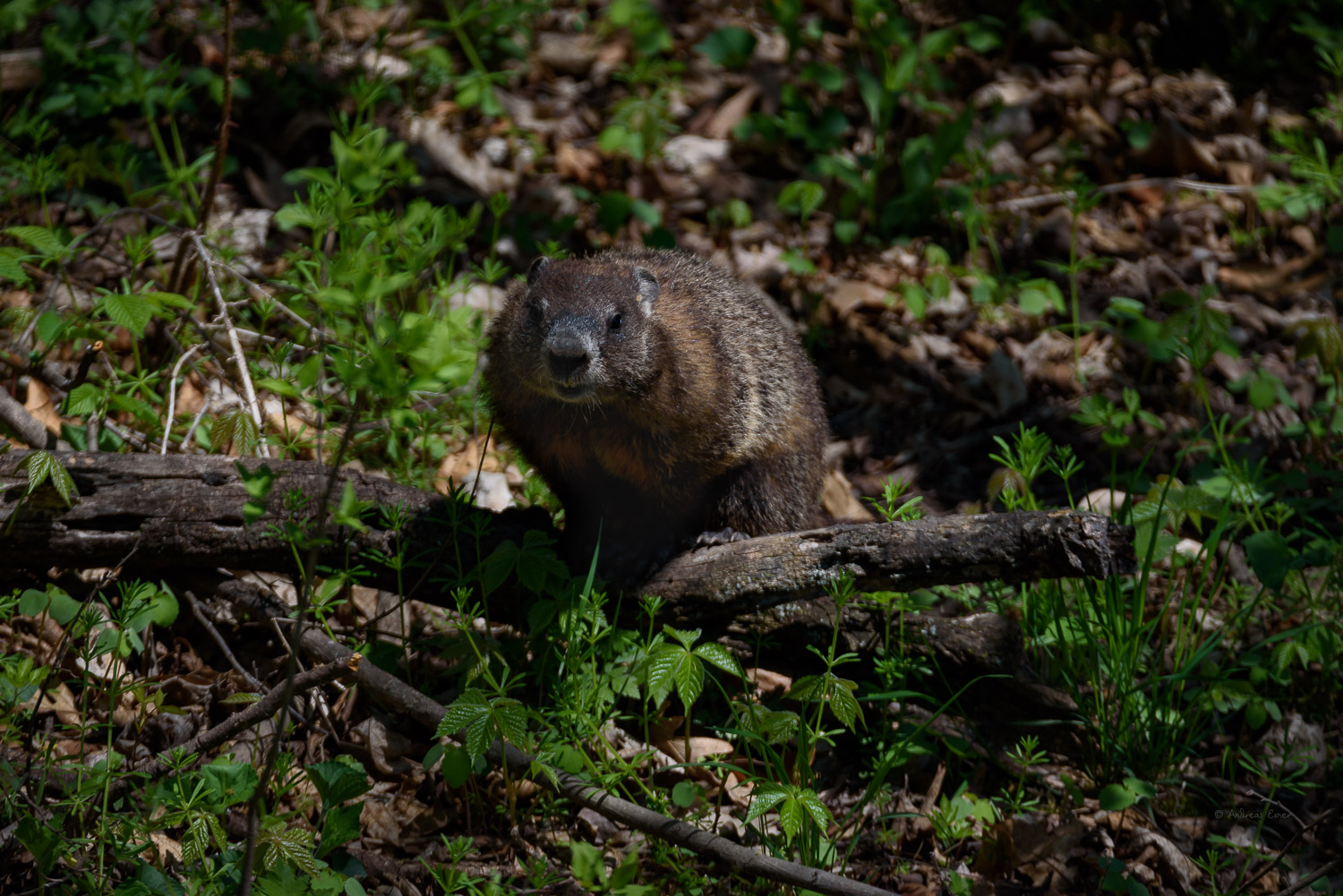 Groundhog (Marmota monax), also known as the woodchuck ---------