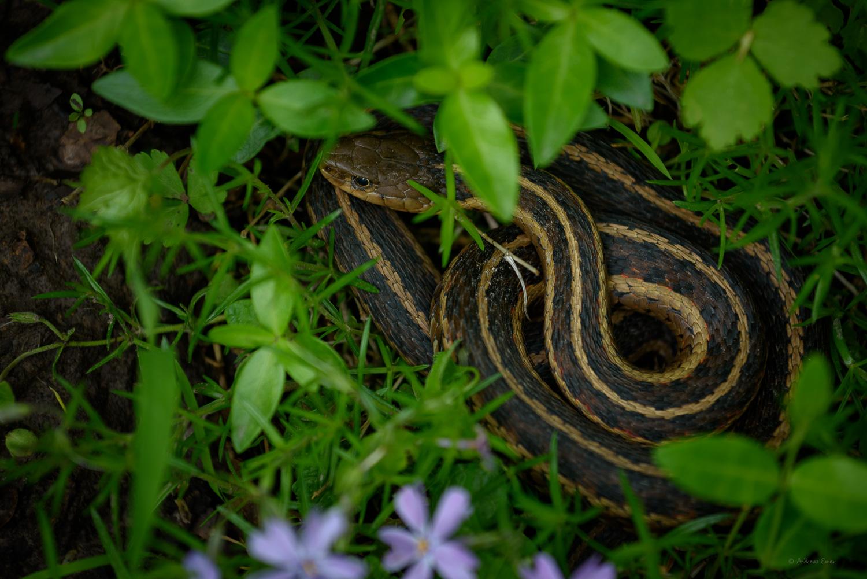 Garter Snake -------