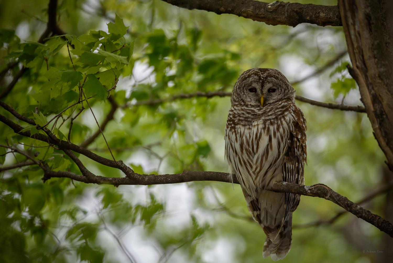 Barred Owl ------------