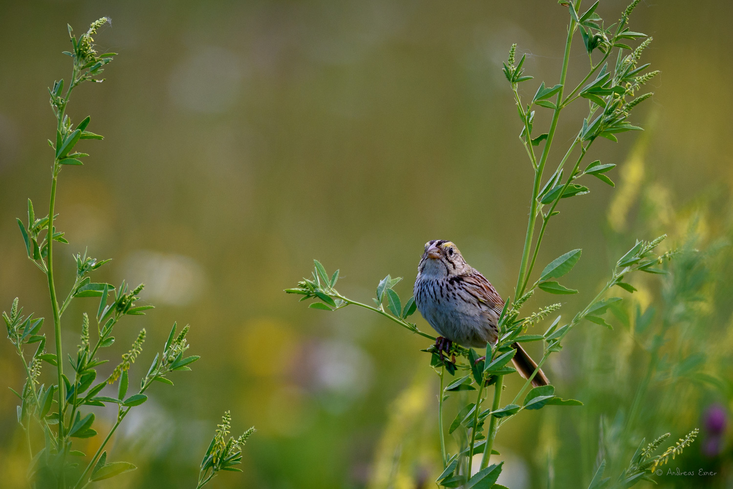 Savannah Sparrow, near Dubuque, Iowa