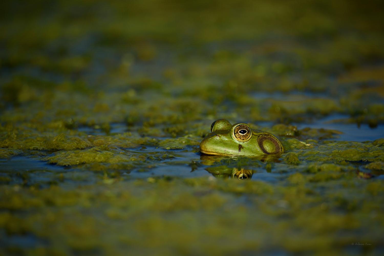 Green Frog, Mississippi River, Mud Lake, Iowa