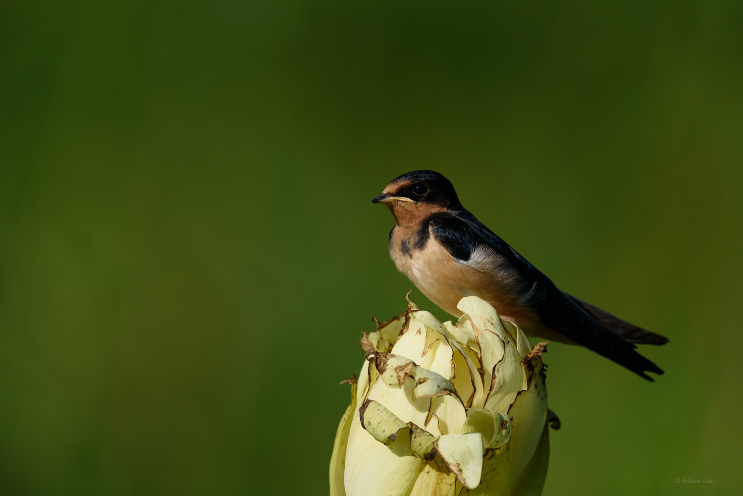 Young Barn Swallow, Mississippi River, Mud Lake, Iowa
