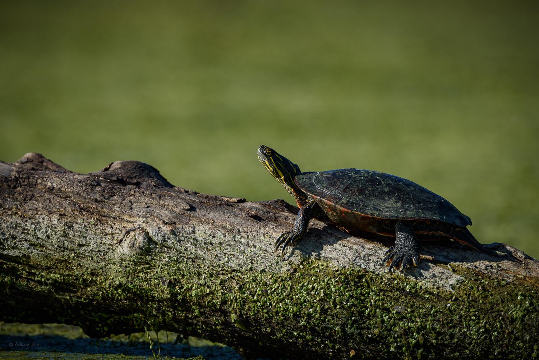 Painted Turtle, Mississippi River, Mud Lake, Iowa