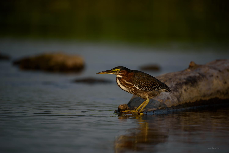 Green Heron, Mississippi River, Mud Lake, Iowa