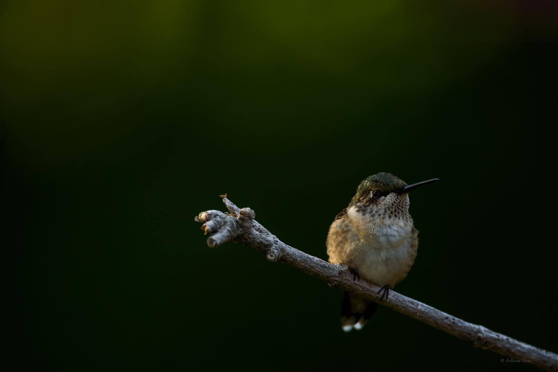 RUBY-THROATED HUMMINGBIRD, IMMATURE
