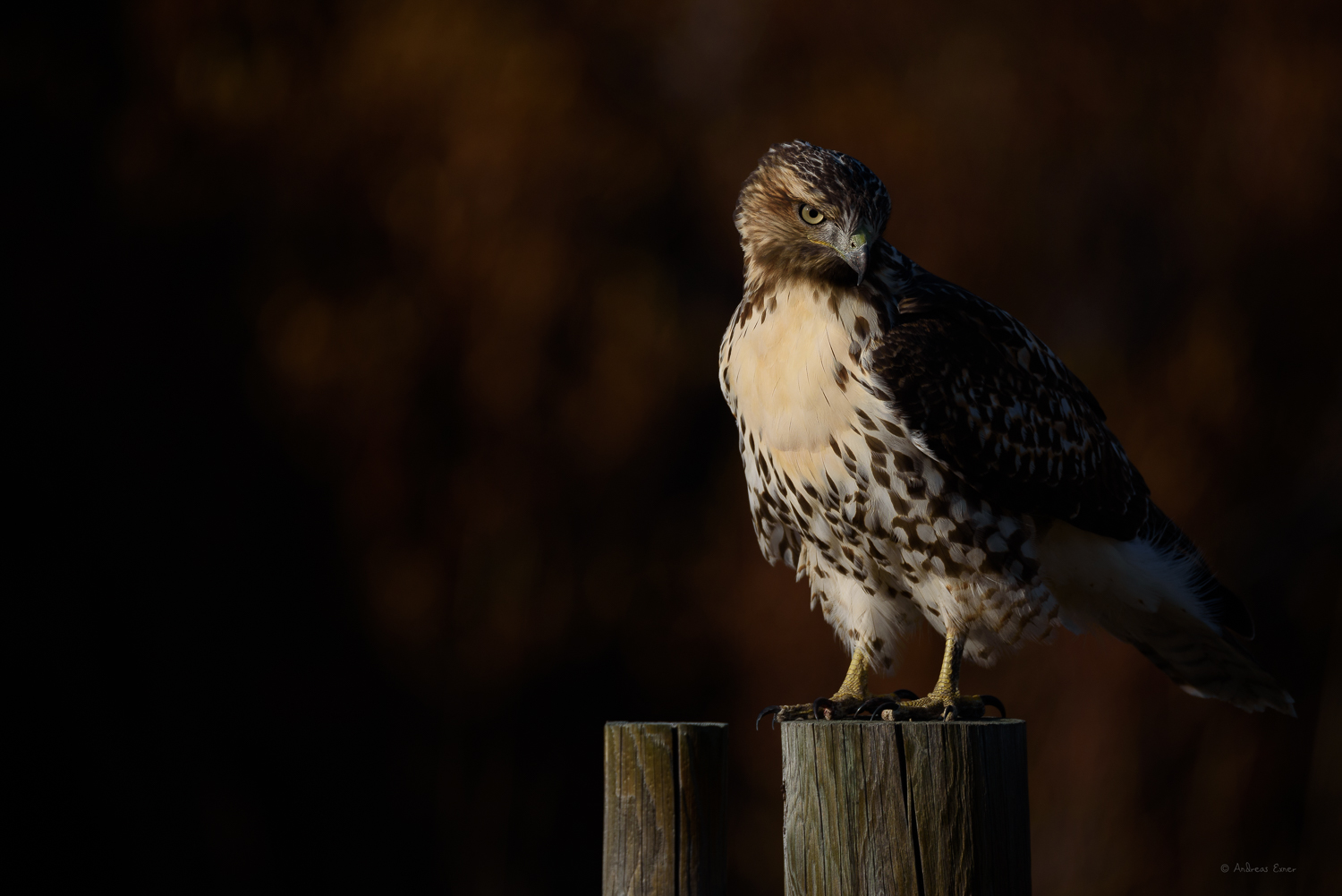 Red-tailed Hawk, North Tongue River, Bighorn Mountains, Wyoming