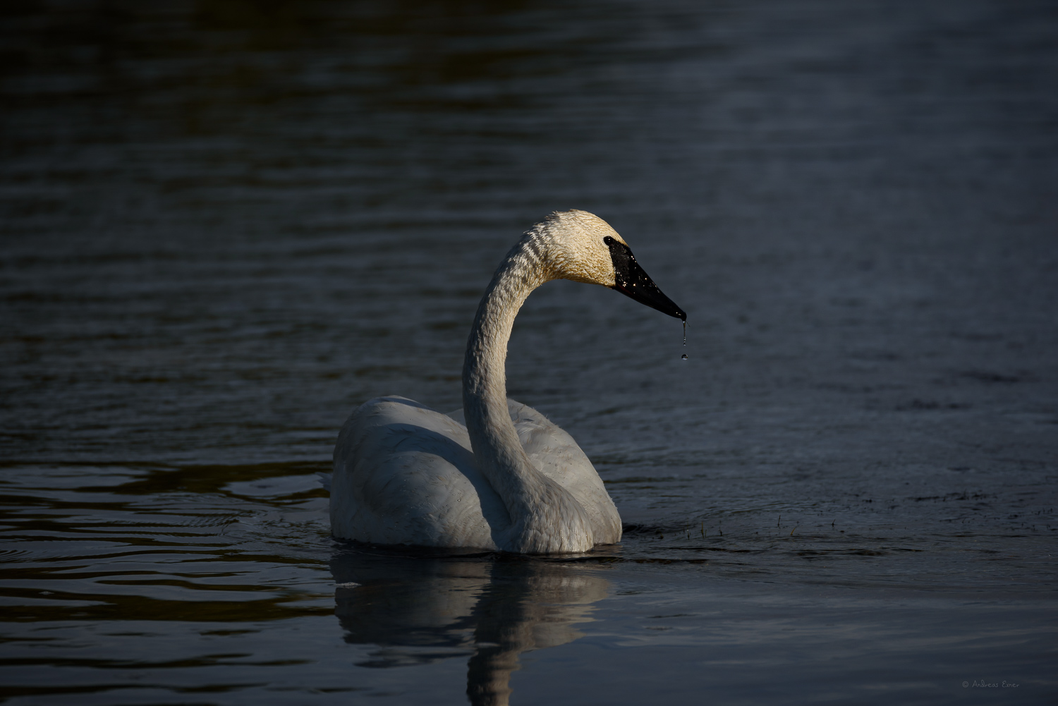 Trumpeter Swan, Firehole River, Yellowstone NP