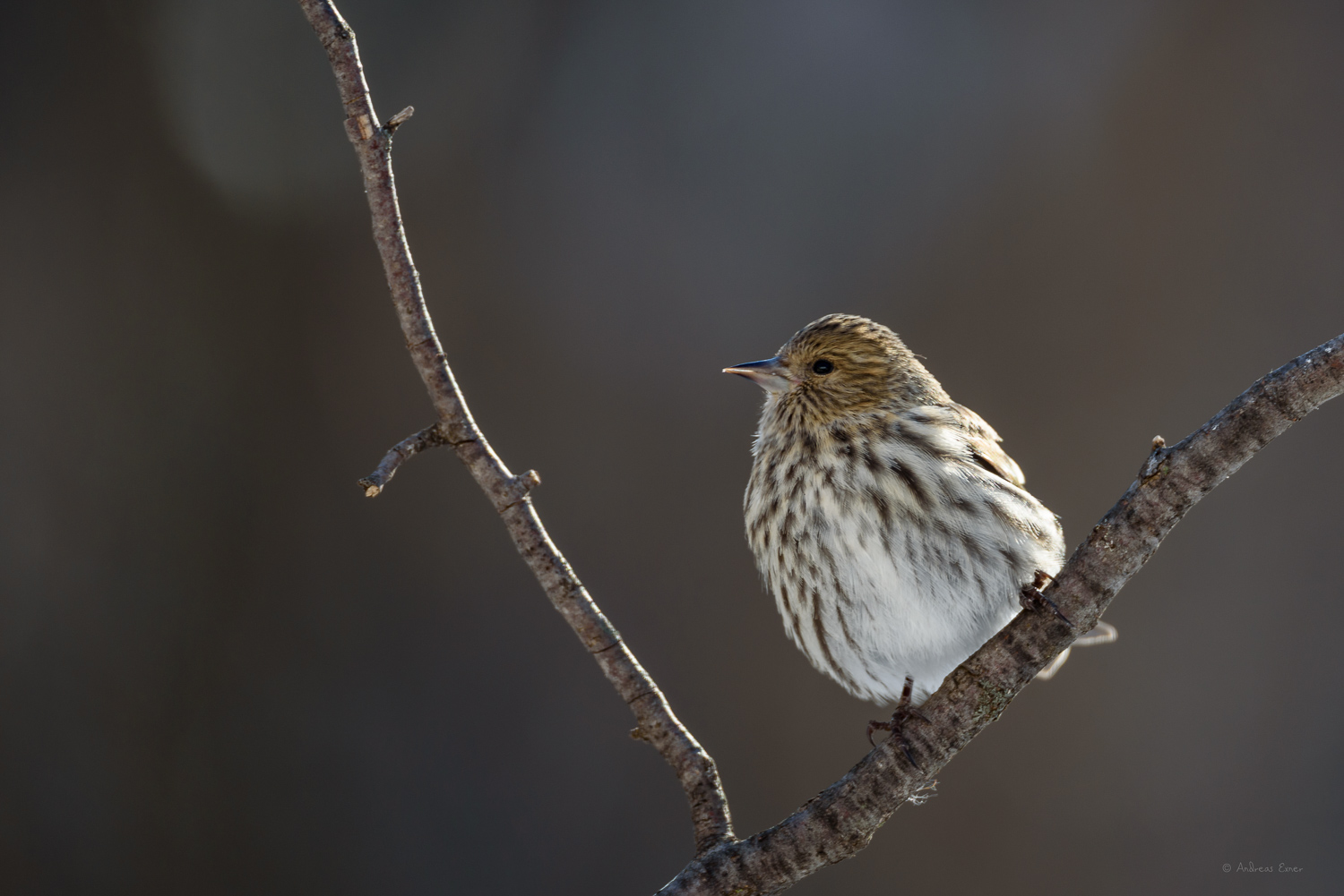 Pine Siskin, Little Maquoketa River Valley, Iowa