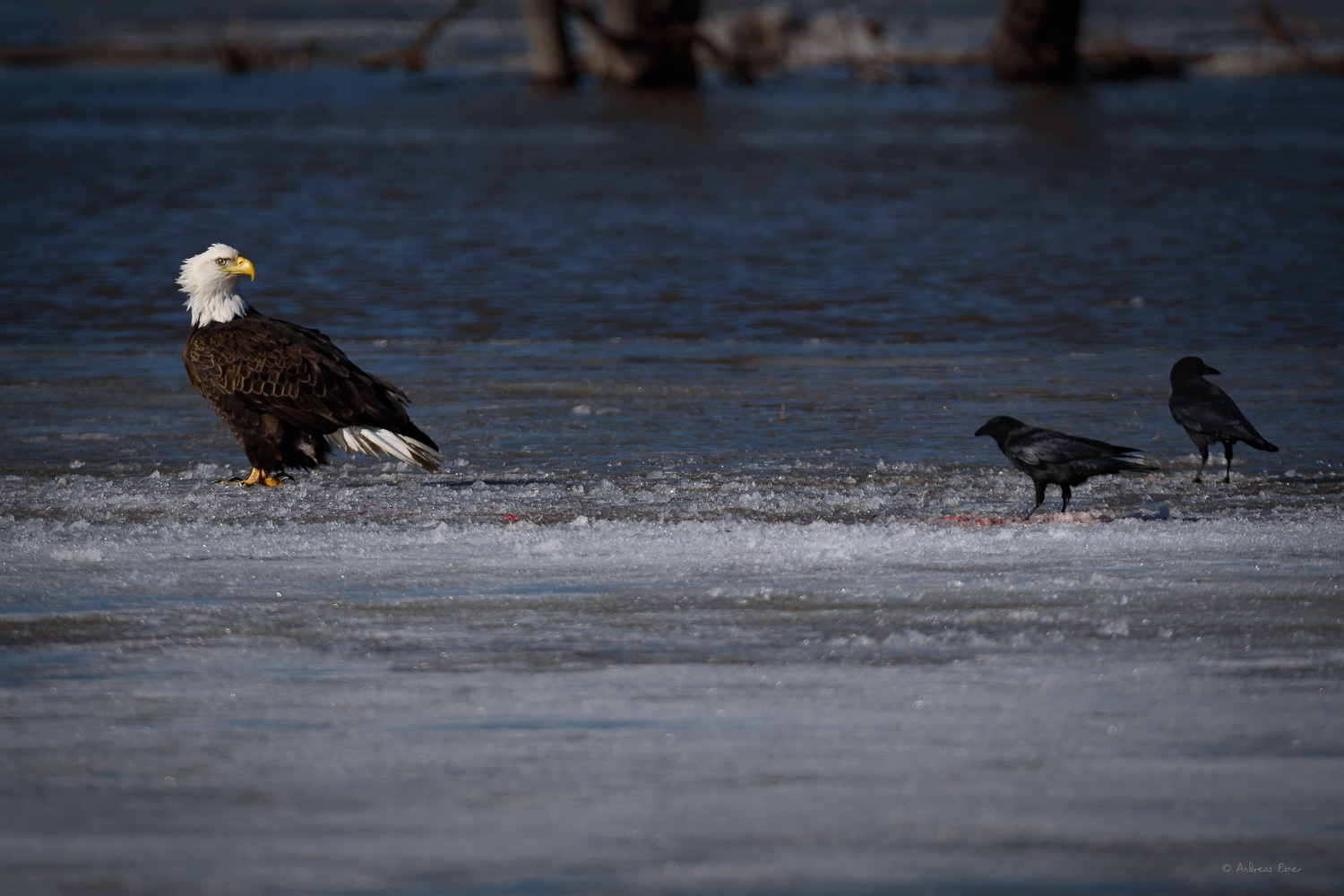 Crows picking up what's left of a an eagle's meal, Mississippi River, Sabula, Iowa