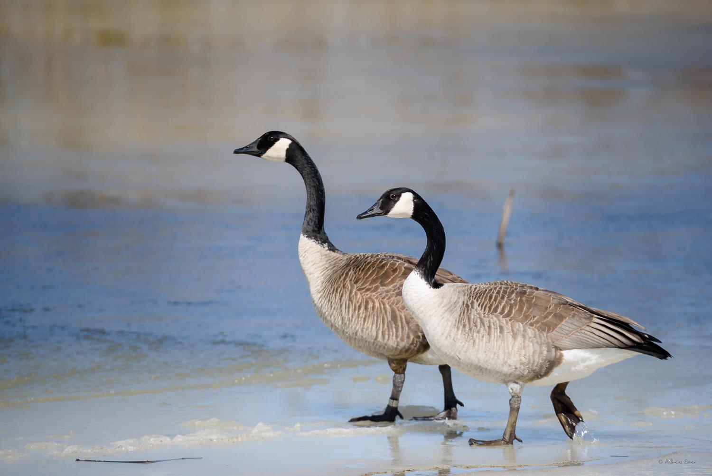 Canada Geese, Green Island Wetlands, Iowa