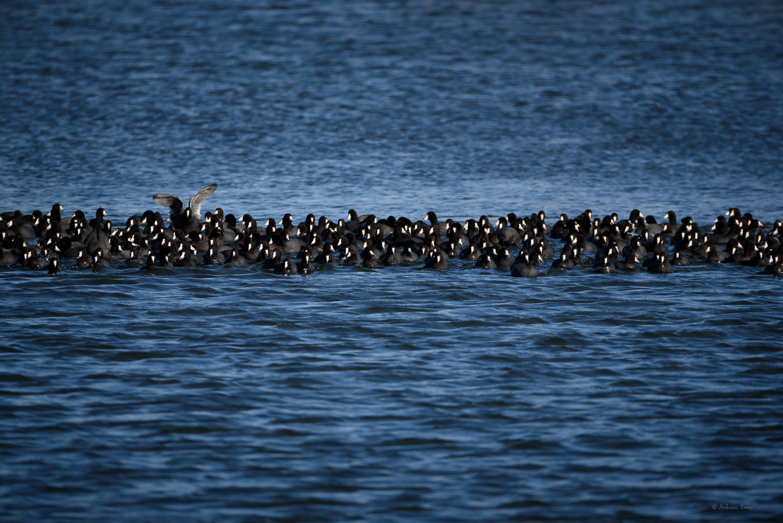 American Coots, Green Island Wetlands, Mississippi River, Iowa
