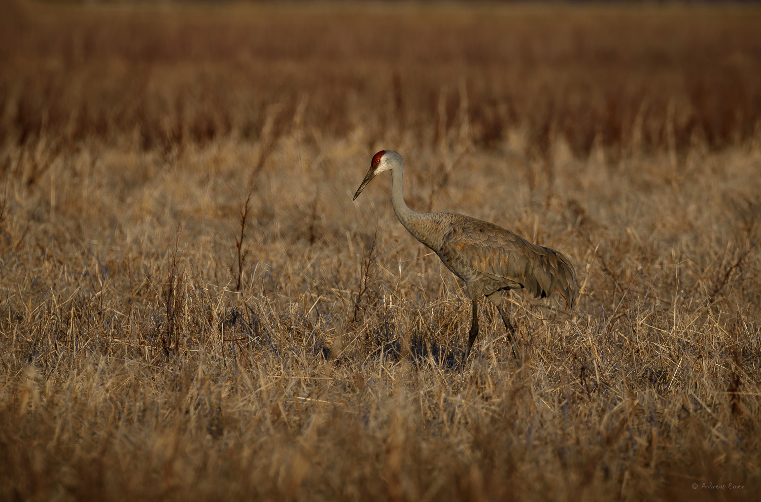 Sandhill Crane, Green Island Wetlands, near Mississippi River, Iowa