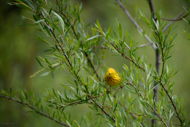 Yellow Warbler, Mines of Spain, Dubuque, iowa