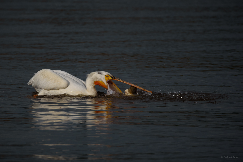 American White Pelican, Mississippi River, Mud Lake Marina, Iowa