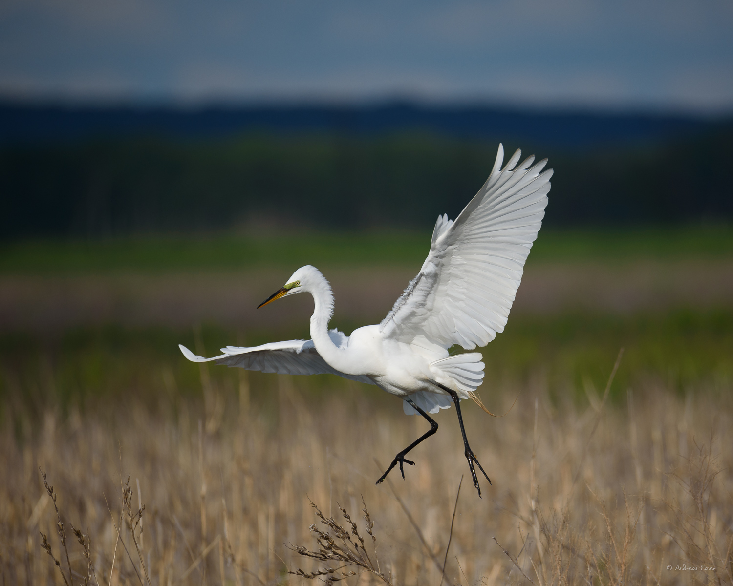 Great Egret, Green Island Wetlands, Iowa
