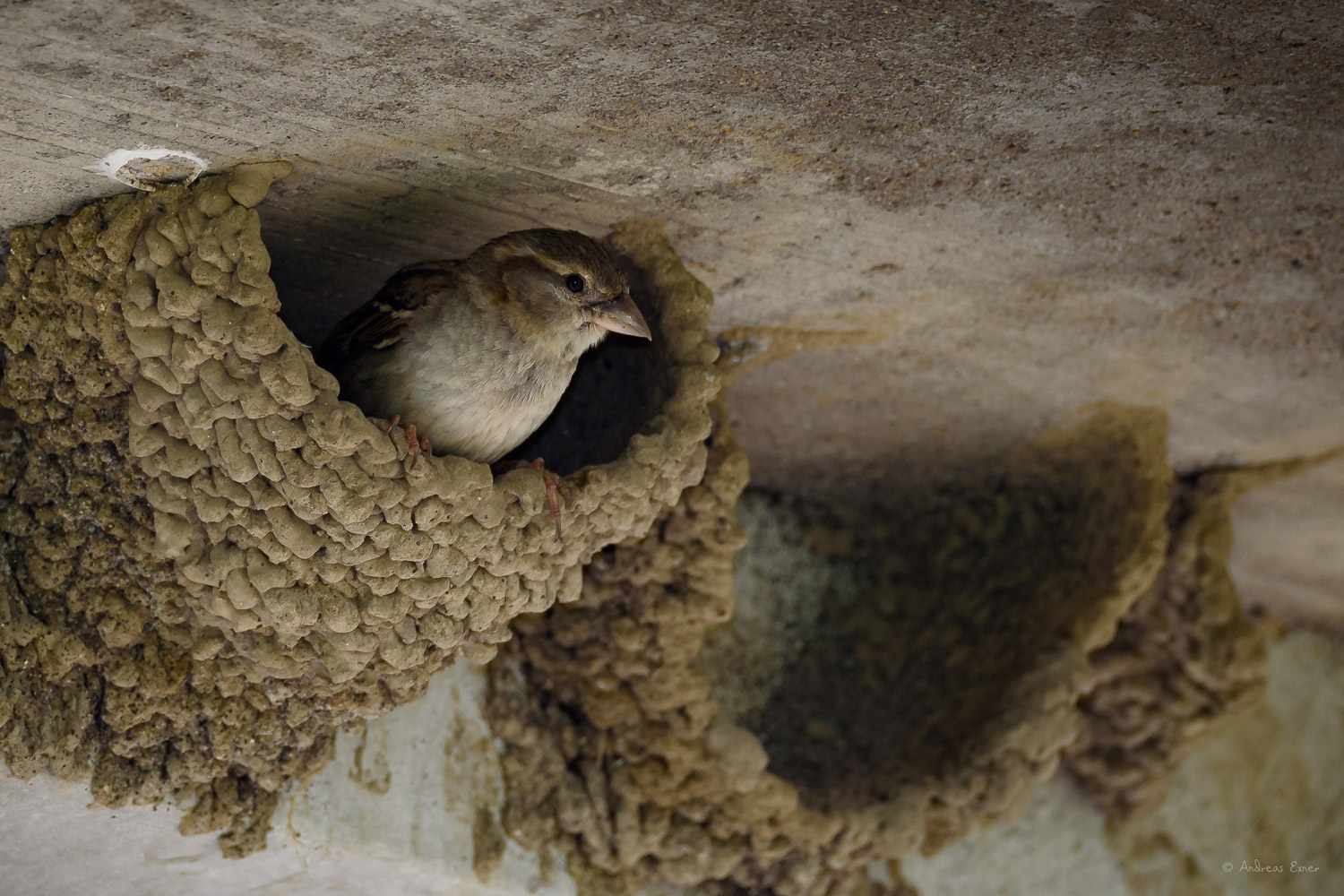 House Sparrow in a swallow nest
