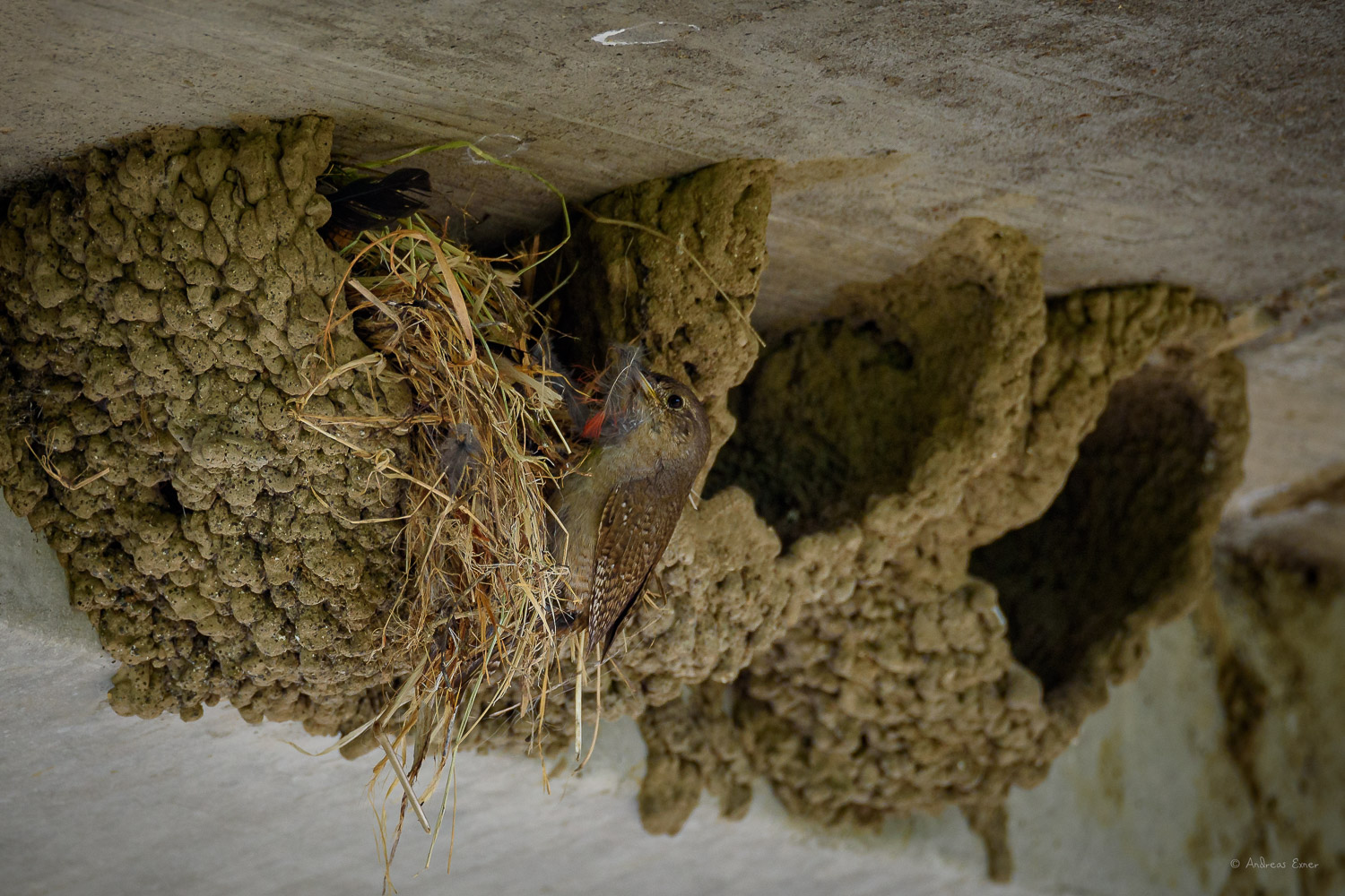 """House Wren, """"cleaning out"""" a nest"""