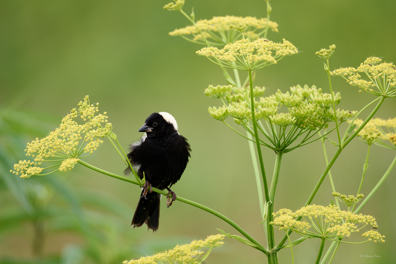 Breeding male Bobolink