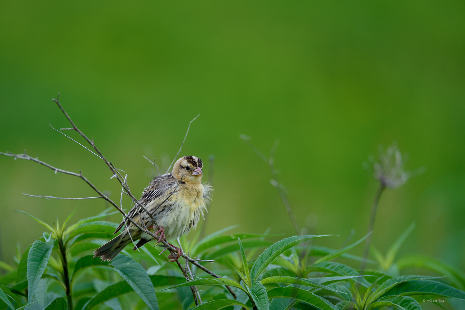 Female Bobolink. Non-breeding males look almost the same.