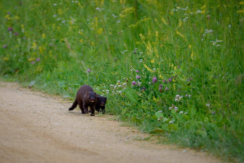 American Mink with kit, Mississippi River, Green island Wetlands, Iowa