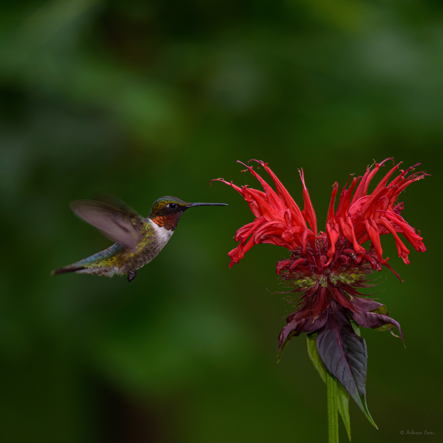 Male Ruby-throated Hummingbird at a Bee Balm