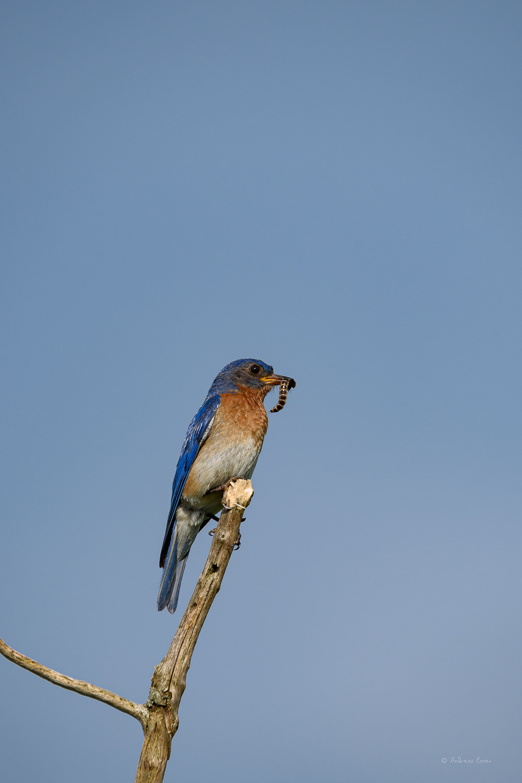 Male Eastern Bluebird, Dubuque, Iowa