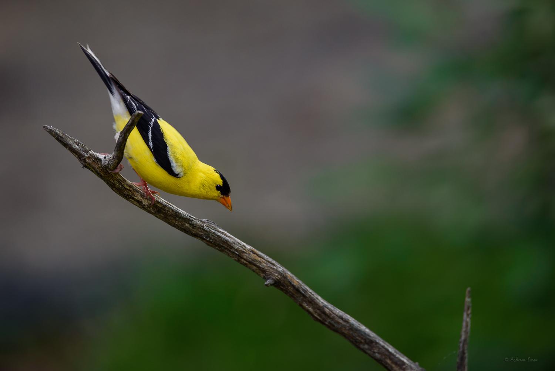 American Goldfinch, near Durango, Iowa