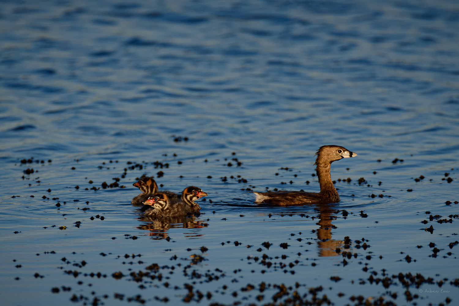 Family of Pied-billed Grebes, Green Island Wetlands, Iowa