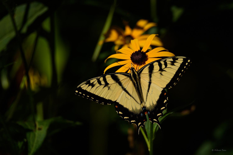 Male Tiger Swallowtail, Little Maquoketa River Valley, Iowa