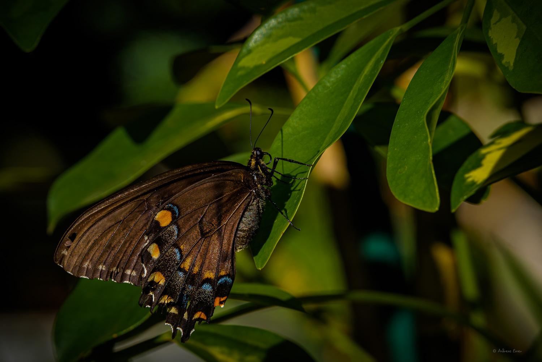 Female Tiger Swallowtail, black form