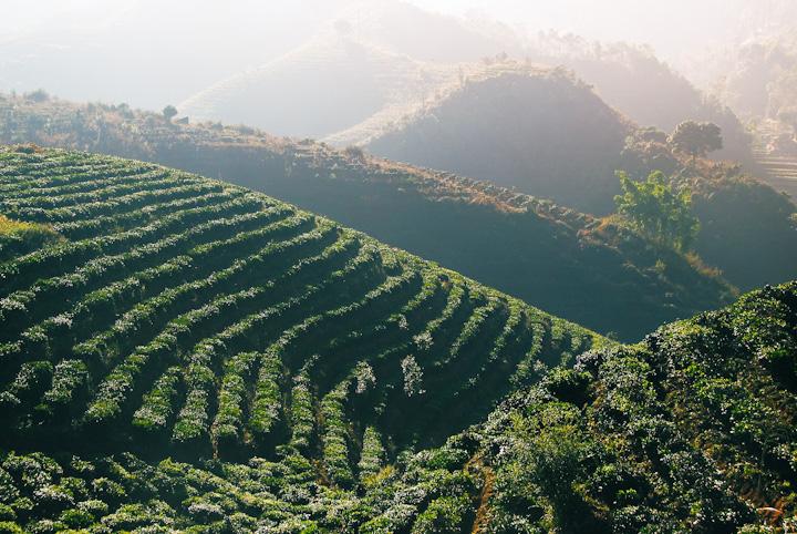 Tea plantation in Lincang, Yunnan
