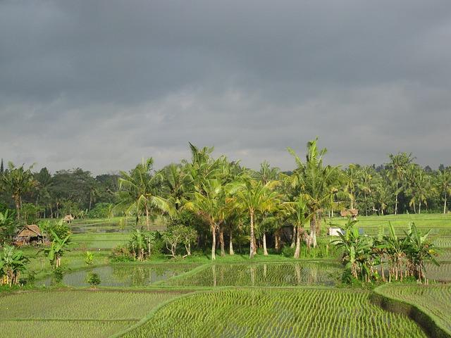 rijstveld.jpg