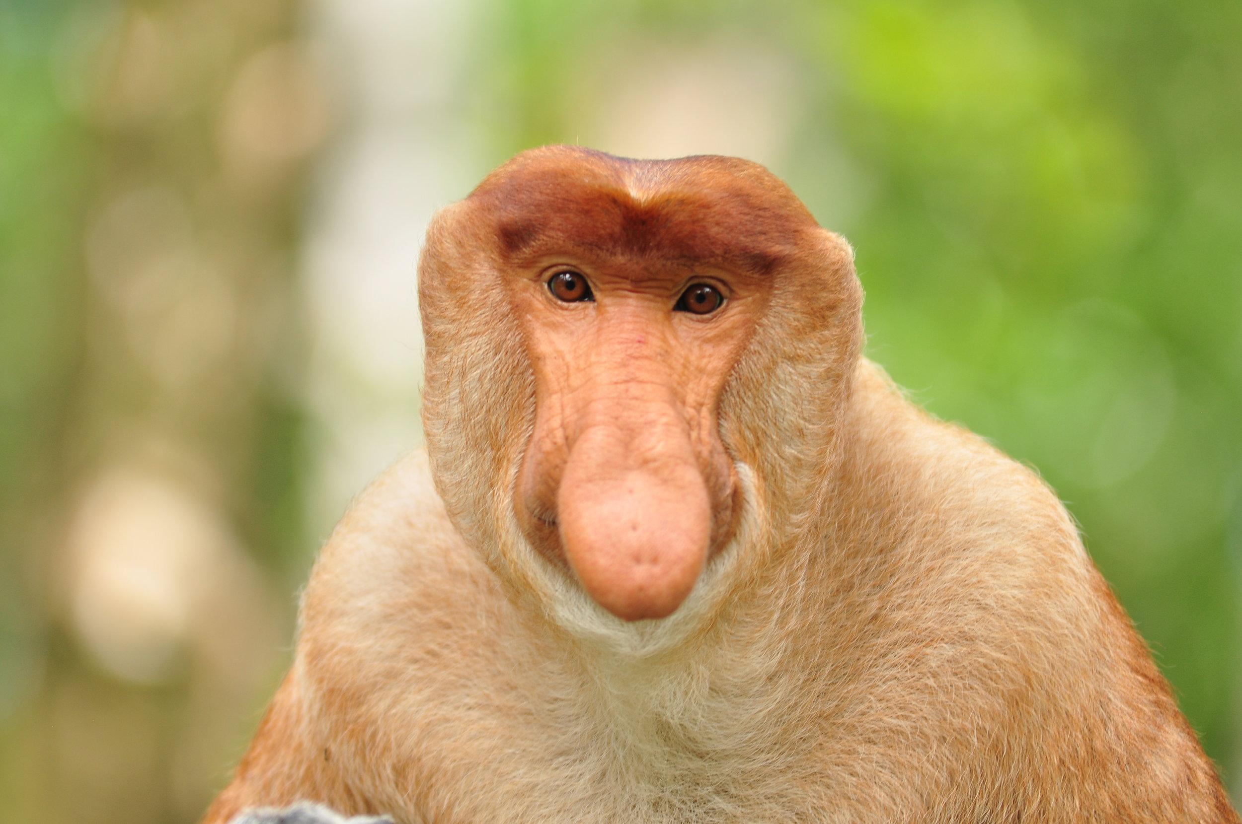 wildlife-mammal-fauna-primate-close-up-nose-1417140-pxhere.com.jpg