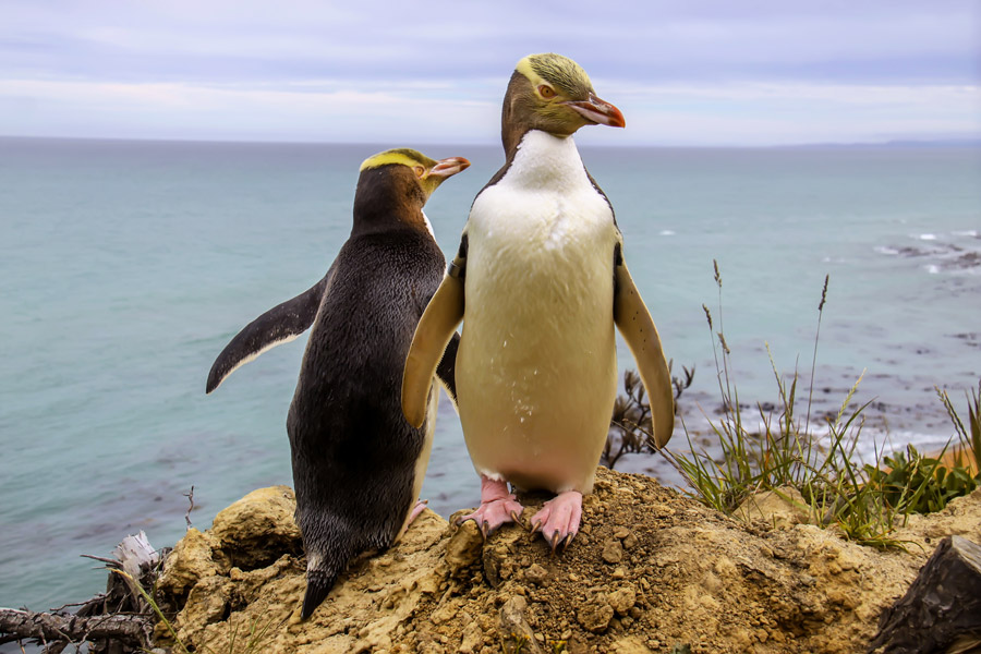 australasia_new_zealand_otago_peninsula_gallery_yellow_eyed_penguin.jpg