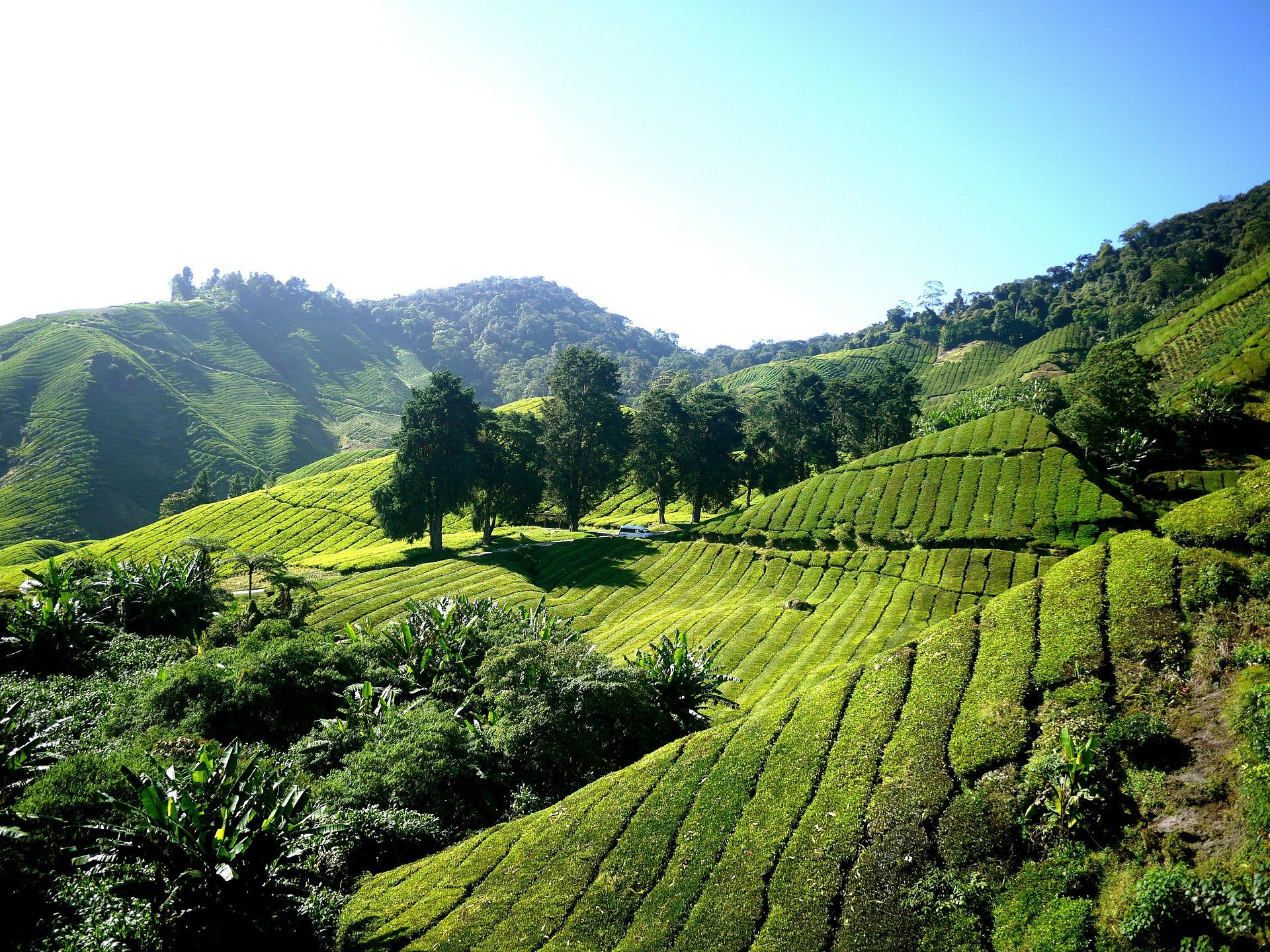 maleisie tea-plantation-261515_1920.jpg