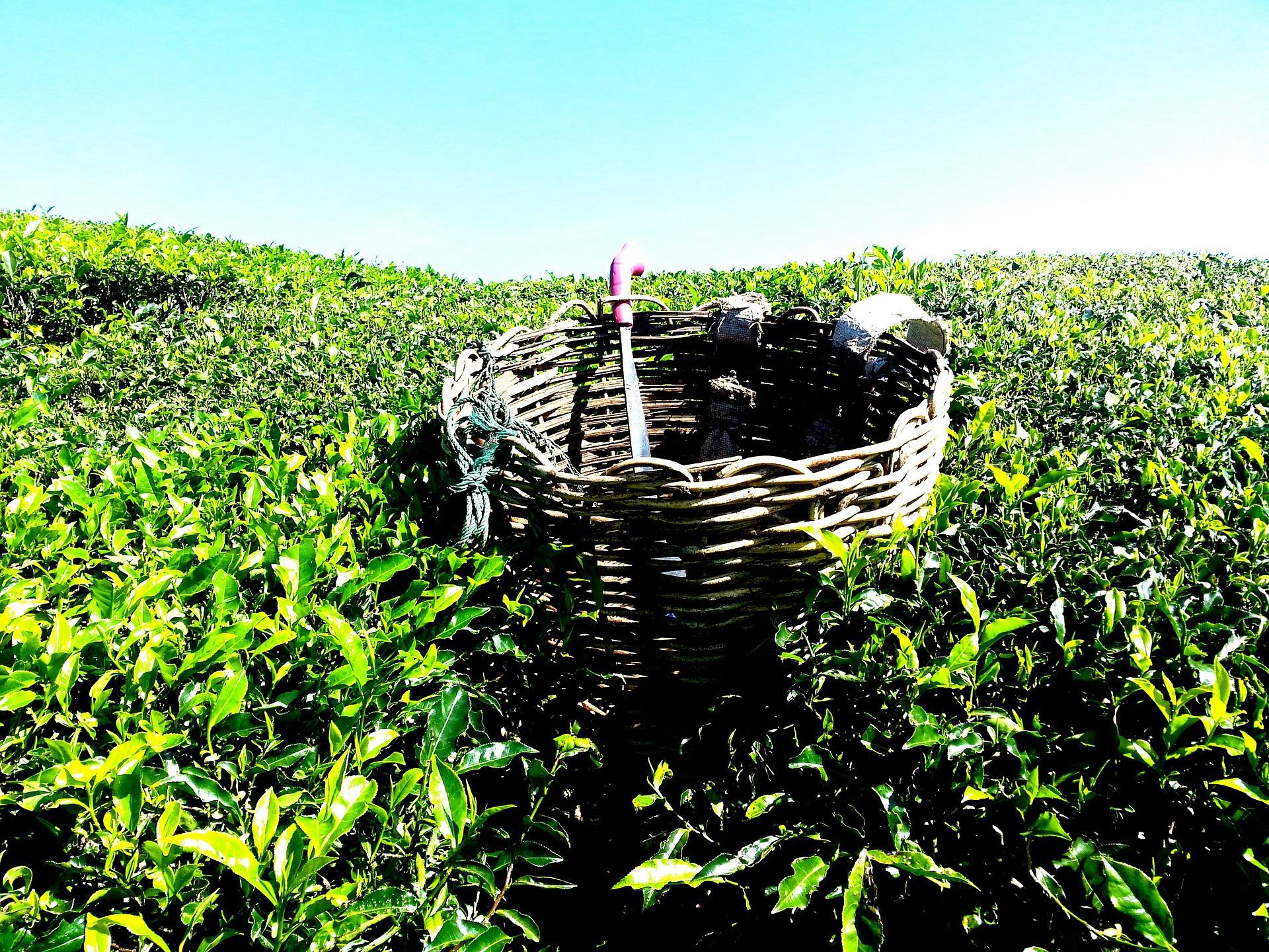 maleisie tea-plantation-261518_1920.jpg