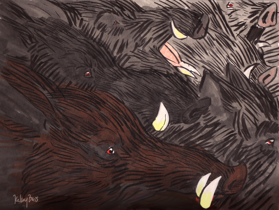 Boar Migration