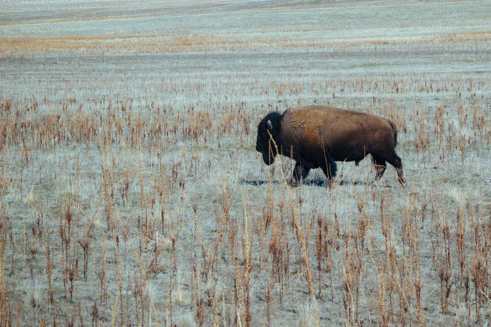 """""""Season of the Buffalo"""" Indian Pueblo Cultural Center Oct 17, 2016"""