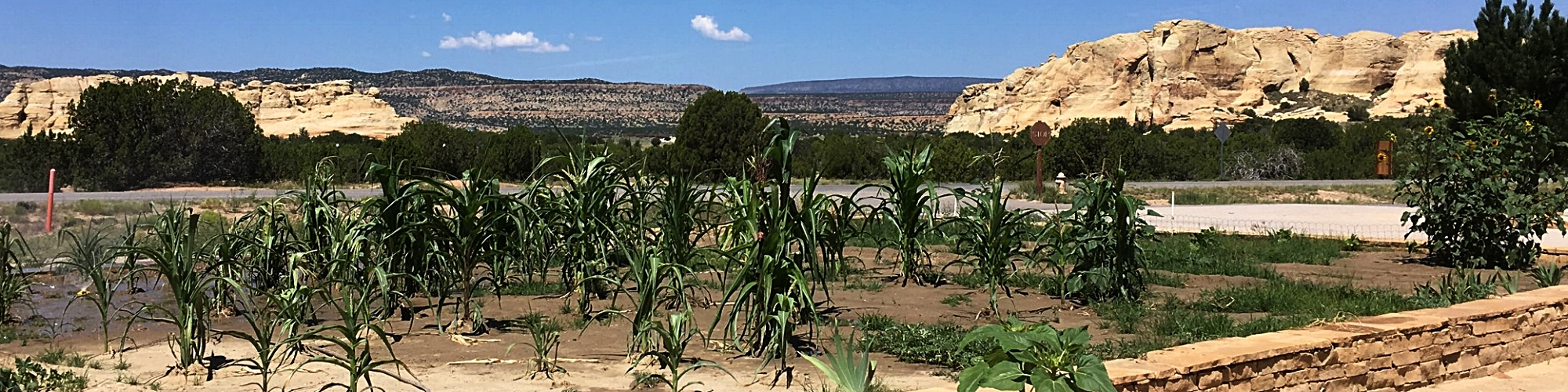 Corn growing at the Sky City Cultural Center & Haak'u Museum in the Pueblo of Acoma, August 2016