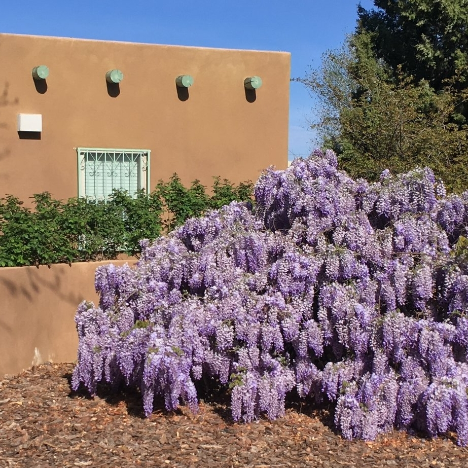 Wisteria in all its glory in a neighbor's yard.